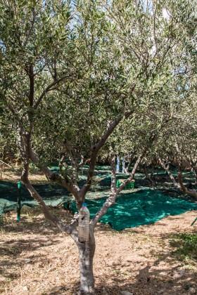 Mykonos Olive Orchard